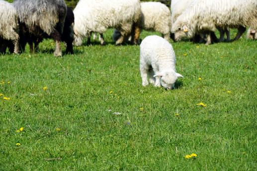 Łagodność i czułość Dobrego Pasterza - foto